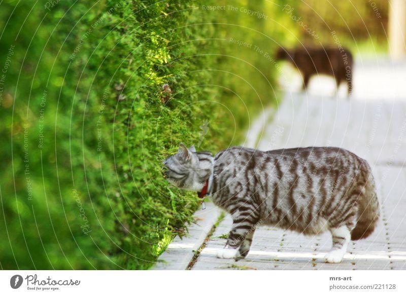 Ab durch die Hecke Natur Tier Sträucher Grünpflanze Fell Haustier Katze 2 Tierpaar beobachten entdecken Blick schlafen Neugier grün schwarz Freundschaft sanft