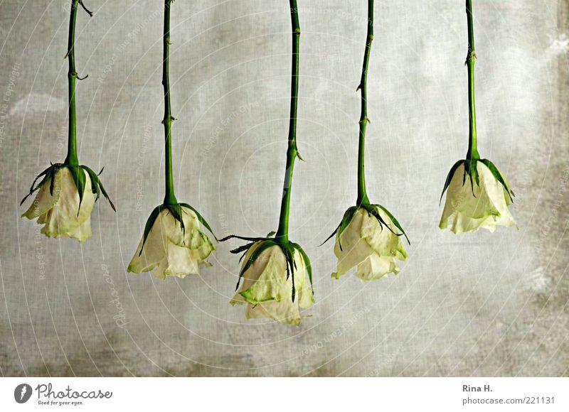 f.ü.n.f. Pflanze Rose hängen grün Ordnung Zusammenhalt Stengel Blütenblatt Stachel Hintergrund neutral 5 Textfreiraum oben Tag Kunst Farbfoto Menschenleer