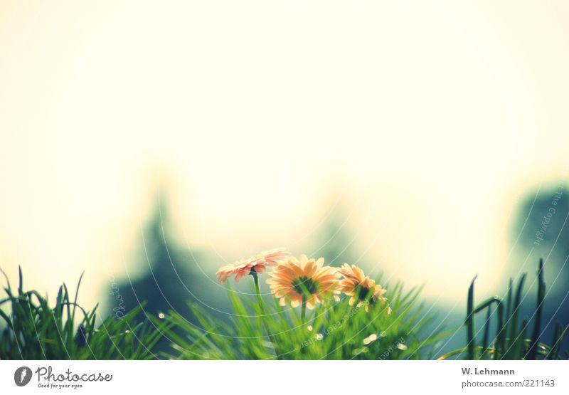 The last breath of summer Natur Pflanze Horizont Sommer Gerbera retro schön blau mehrfarbig gelb grün schwarz weiß Farbfoto Außenaufnahme Experiment Licht