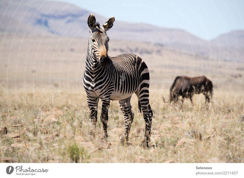 Mountain zebra Ferien & Urlaub & Reisen Tourismus Ausflug Abenteuer Ferne Freiheit Safari Expedition Sommer Sommerurlaub Sonne Umwelt Natur Landschaft