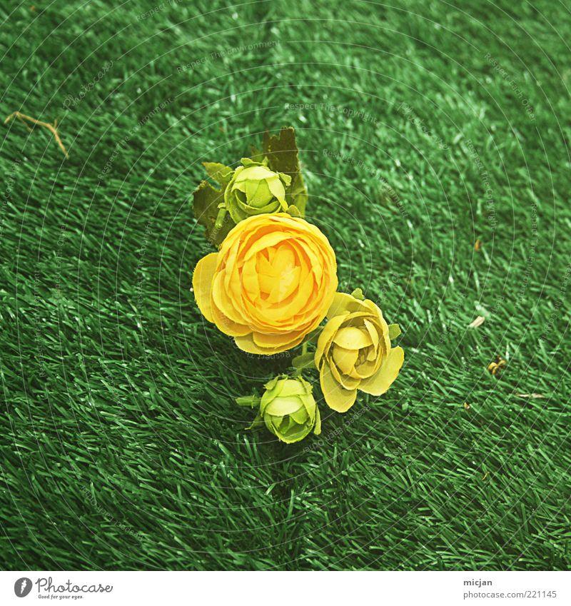 IronChef Foicite|Potatos beat the pants off Roses Natur schön Blume grün Pflanze Einsamkeit gelb Wiese Blüte Gras Frühling retro Rasen Kitsch 4