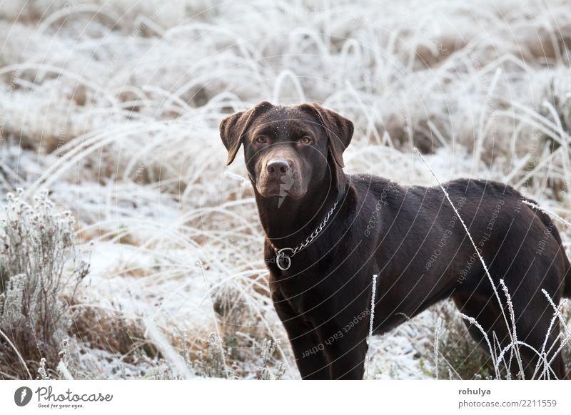 Netter brauner Labrador-Hund auf bereifter Wiese im Winter Schnee Erwachsene Natur Tier Wetter Eis Frost Gras Haustier hell niedlich weiß züchten Retriever