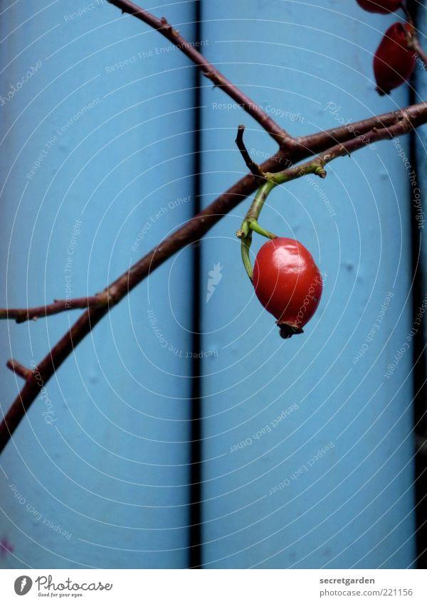 feines freches früchtchen. blau Pflanze rot ruhig Herbst glänzend Frucht ästhetisch Wachstum rund einzeln Hagebutten Nutzpflanze