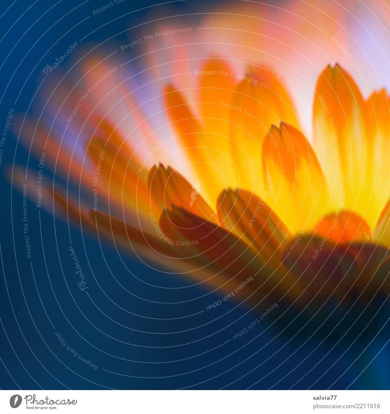 inneres Licht Gesundheitswesen Alternativmedizin Leben Natur Sommer Pflanze Blume Blüte Ringelblume Heilpflanzen Garten Blühend Duft leuchten positiv Wärme blau