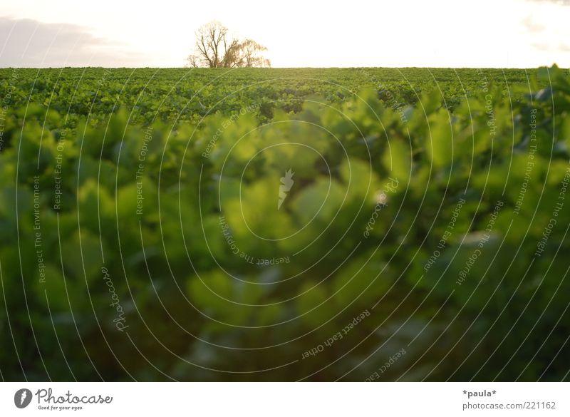 Grüner Herbst Landschaft Pflanze Erde Himmel Horizont Sonne Sonnenaufgang Sonnenuntergang Schönes Wetter Baum Nutzpflanze Feld leuchten frei Unendlichkeit nah