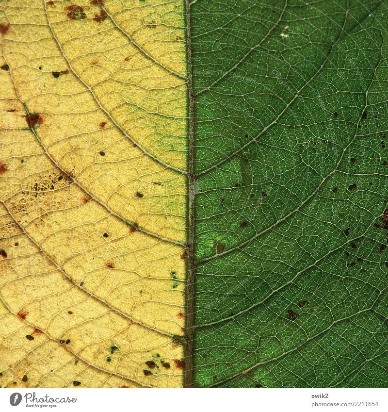 Halb Herbst Natur Pflanze Blatt Blattadern dünn klein nah gelb grün Verfall Vergänglichkeit Hälfte Herbstlaub Herbstfärbung Symmetrie Mitte graphisch Farbfoto