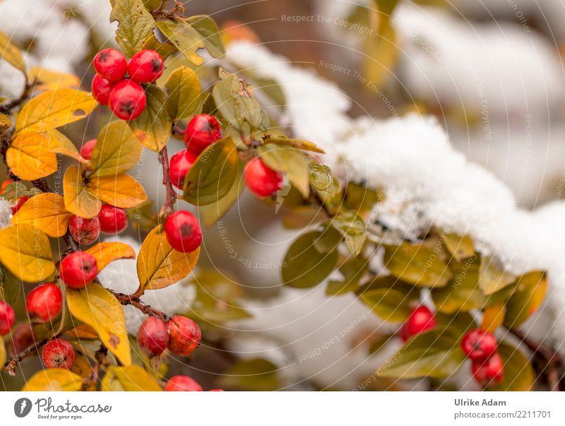 rote beeren der zwergmispel im schnee ein lizenzfreies stock foto von photocase. Black Bedroom Furniture Sets. Home Design Ideas