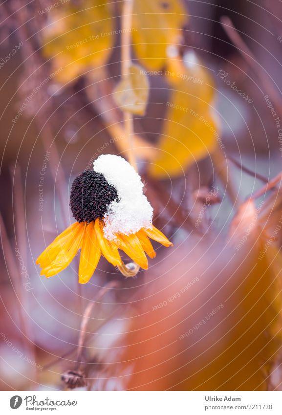 Sonnenut (Echinacea) im Schnee Behandlung Alternativmedizin Krankheit Leben Natur Pflanze Herbst Winter Blume Blüte Nutzpflanze Sonnenhut Roter Sonnenhut