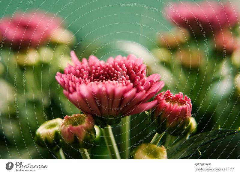 summertime Natur Pflanze Sommer Blume Blatt Blüte Blühend Wachstum einfach frisch schön grün rosa Leben Blütenknospen Pflanzenteile klein mehrfarbig Farbfoto