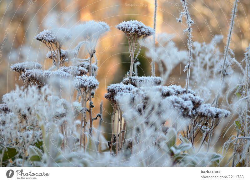 Väterchen Frost war da Natur Pflanze Sonne Winter Eis Schnee Sträucher Garten kalt Stimmung Klima Umwelt Farbfoto Gedeckte Farben Außenaufnahme abstrakt Muster