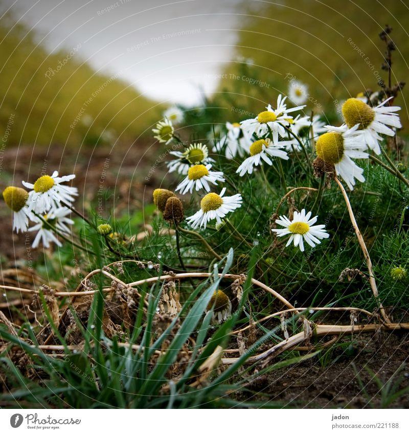 kamille grazie. Kräuter & Gewürze Bioprodukte Duft Natur Pflanze Feld Gesundheit Kamille Heilpflanzen Erde heilsam Nahaufnahme Morgen