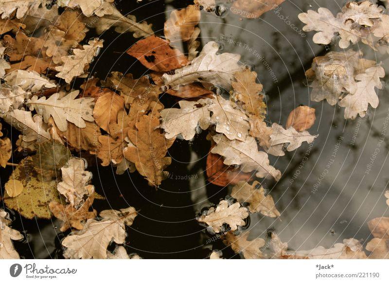 Als der Herbst kam... Natur Wasser ruhig Blatt Umwelt Vergänglichkeit Herbstlaub Im Wasser treiben herbstlich Wasseroberfläche Eichenblatt