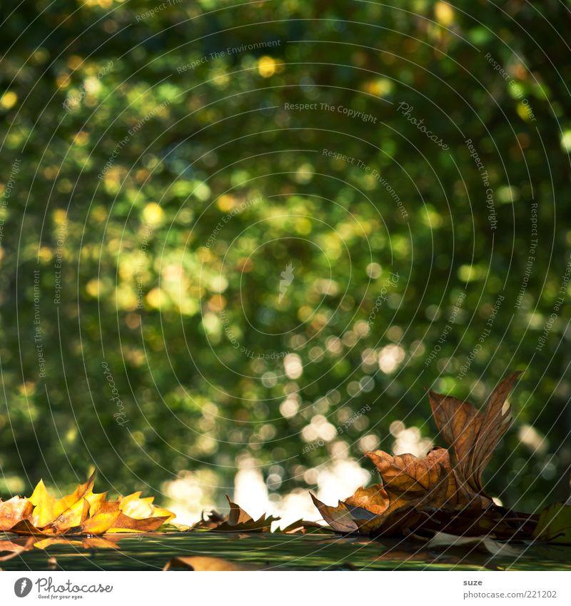 Evergreen Natur grün Blatt Landschaft Umwelt Herbst leuchten ästhetisch Jahreszeiten Herbstlaub herbstlich Ahornblatt Herbstbeginn Blendenfleck Novemberstimmung