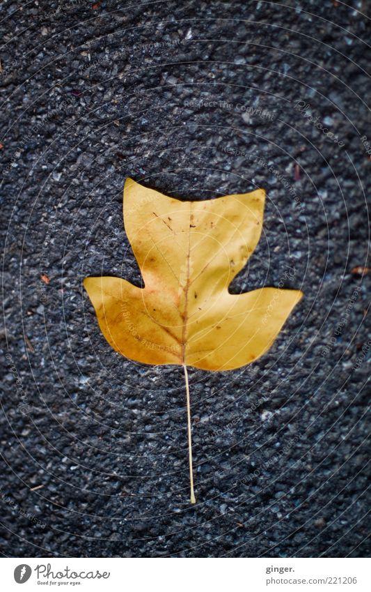Blattgold Natur Herbst grau Asphalt schön gefallen liegen Bodenbelag Tulpenbaumblatt Zacken Blattadern Teer Menschenleer Stengel Herbstlaub Farbfoto