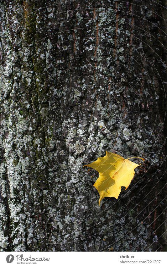 Goldblatt Natur Pflanze Herbst Baum Blatt Herbstlaub Herbstfärbung herbstlich Herbstbeginn alt hängen verblüht dehydrieren gold Nahaufnahme Kontrast Baumstamm