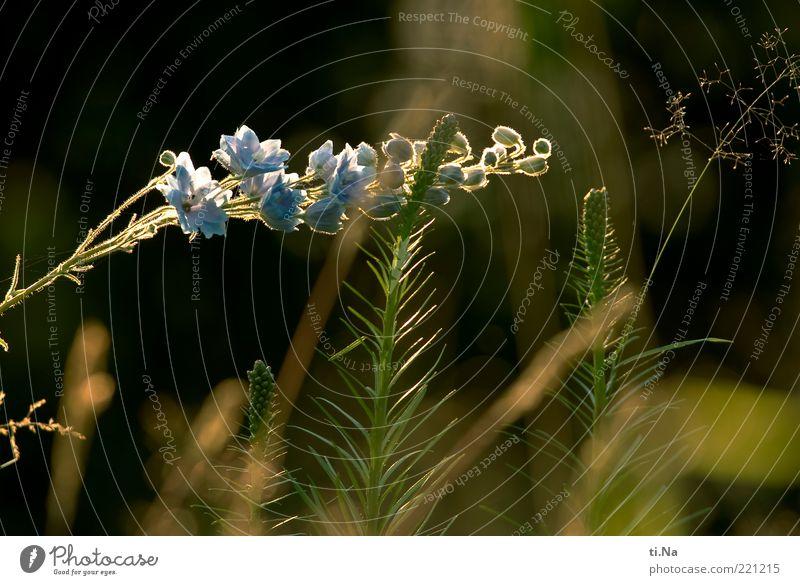 kein Herbstbild Umwelt Natur Sommer Schönes Wetter Wärme Pflanze Gras Wildpflanze Rittersporn Wiese Blühend Wachstum Duft hell schön blau gelb grün Farbfoto