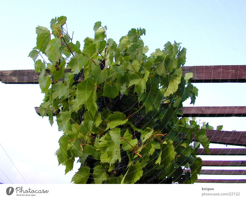 Träubschen Holz Wein Weintrauben
