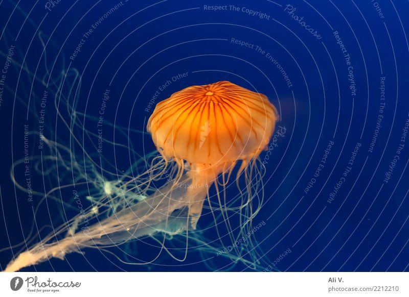 Medusa 4 Wasser Qualle Aquarium 1 Tier Schwimmen & Baden tauchen blau orange schwarz Farbfoto Innenaufnahme Menschenleer Nacht Kunstlicht Licht Tierporträt