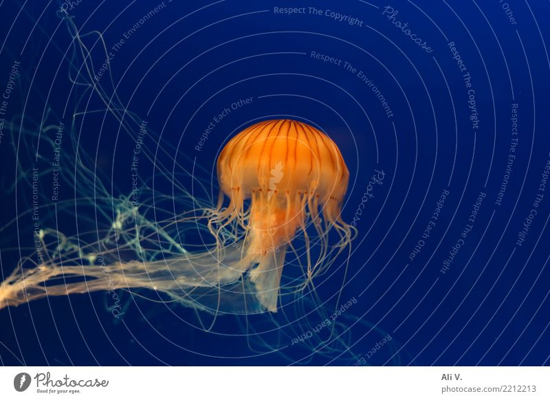 Medusa 3 Wasser Qualle Aquarium 1 Tier Schwimmen & Baden tauchen blau orange schwarz Farbfoto Innenaufnahme Menschenleer Nacht Kunstlicht Licht Tierporträt