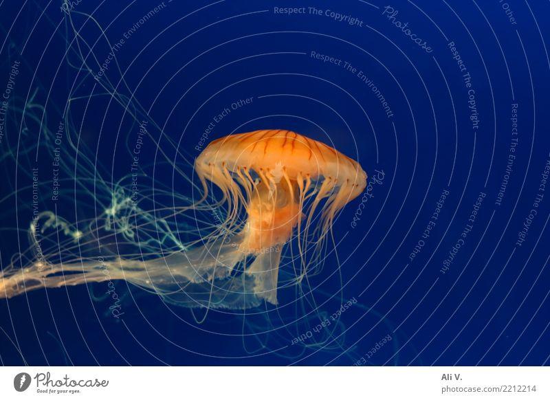 Medusa 2 Wasser Qualle Aquarium 1 Tier Schwimmen & Baden tauchen blau orange schwarz Farbfoto Innenaufnahme Nahaufnahme Menschenleer Nacht Kunstlicht Licht