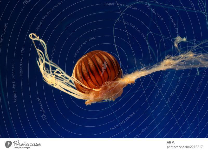 Medusa 1 Wasser Tier Qualle Aquarium Schwimmen & Baden tauchen blau braun gelb orange schwarz Farbfoto Innenaufnahme Nahaufnahme Menschenleer Nacht Kunstlicht