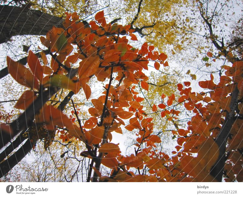 Indian Summer Natur schön Himmel Pflanze Farbe Wald Herbst Stimmung frisch ästhetisch Frieden Vergänglichkeit Duft Baumstamm Baumrinde Herbstlaub