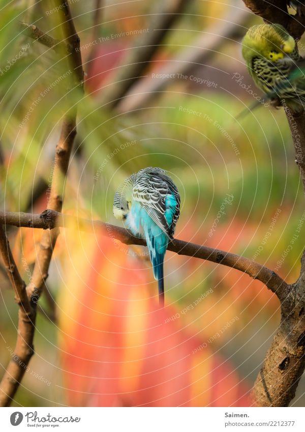 Blauer Wellensittich vogel baum ast Stufe Lebewesen Tierwelt Korkenzieher putzen reinigen sich säubern Vögel