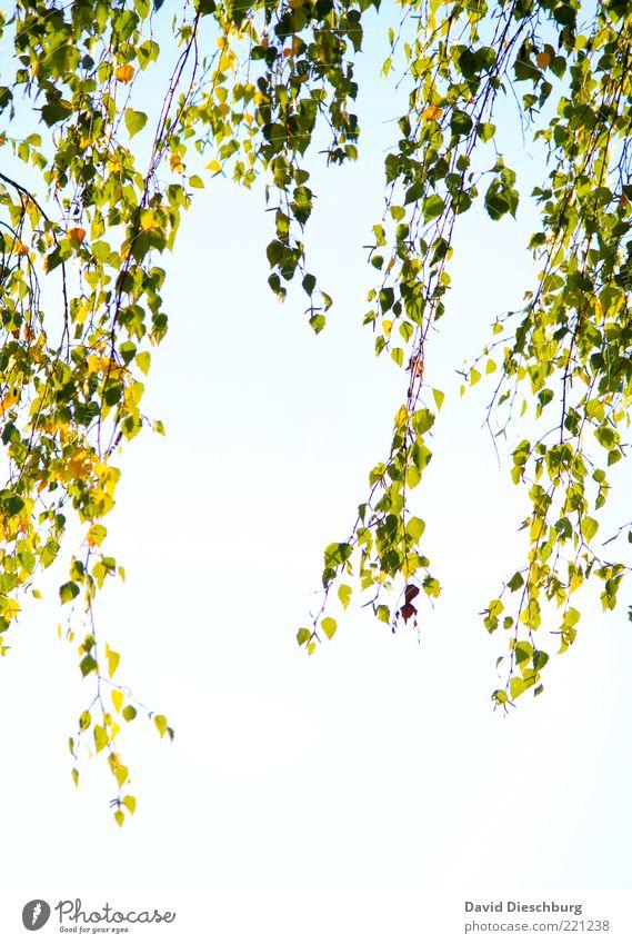 Herbstlicher Vorhang Natur weiß grün Pflanze Blatt Luft Wachstum Schönes Wetter Ast Jahreszeiten Zweig hängen Herbstlaub Wolkenloser Himmel Weide