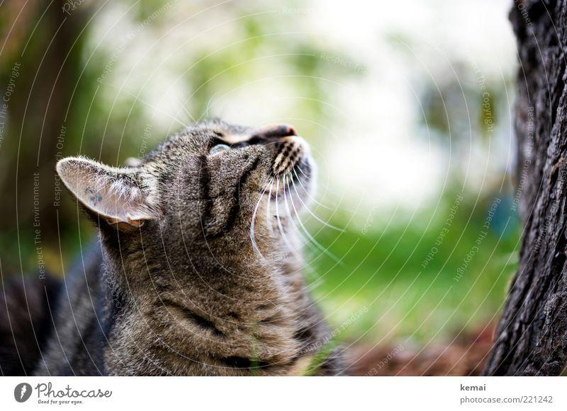 Gezwitscher Umwelt Natur Pflanze Baum Baumstamm Baumrinde Tier Haustier Katze Tiergesicht Ohr getigert Tigerkatze 1 hören Blick hoch oben beobachten Wachsamkeit
