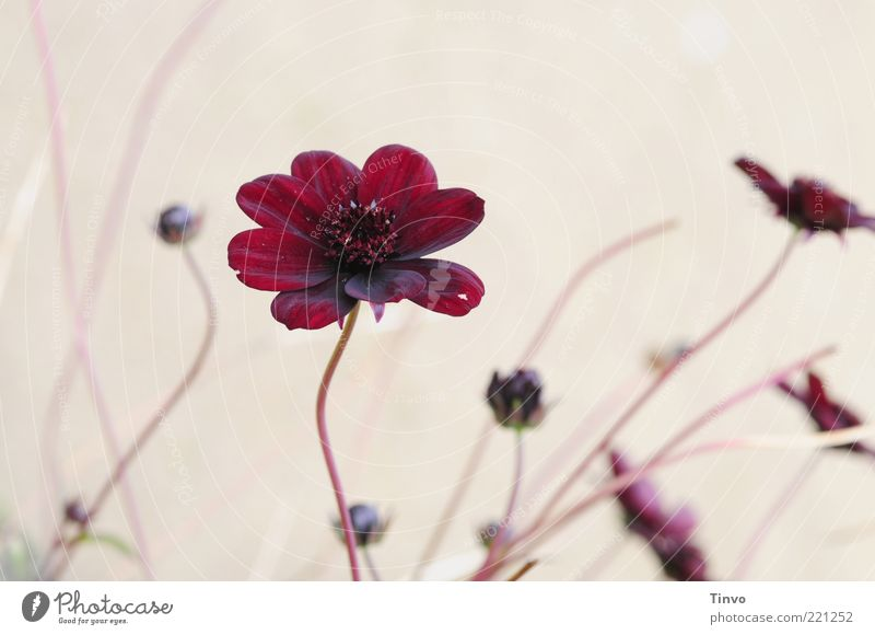 Geburtstagsgrüße schön Blume Pflanze rot Blüte rosa Stengel Blühend Duft Blütenknospen Blütenblatt filigran Blütenstiel