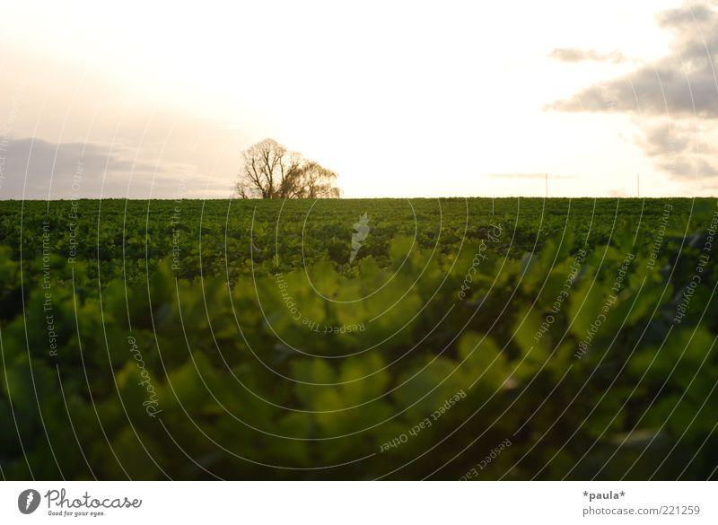 Abendstimmung Natur Himmel weiß Baum grün Pflanze ruhig Blatt Wolken Herbst Landschaft braun Feld frei Horizont Erde