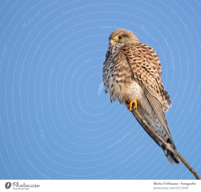 Turmfalke Porträt Umwelt Natur Tier Himmel Wolkenloser Himmel Sonne Sonnenlicht Schönes Wetter Baum Vogel Tiergesicht Flügel Krallen Falken Greifvogel Auge 1