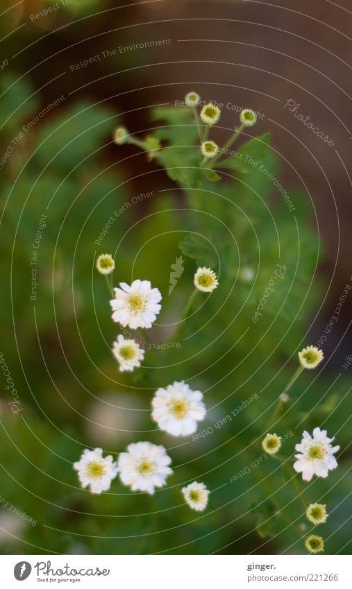 Herbstblümchen Natur grün weiß Pflanze Blume Blatt klein Blüte Wachstum Blühend