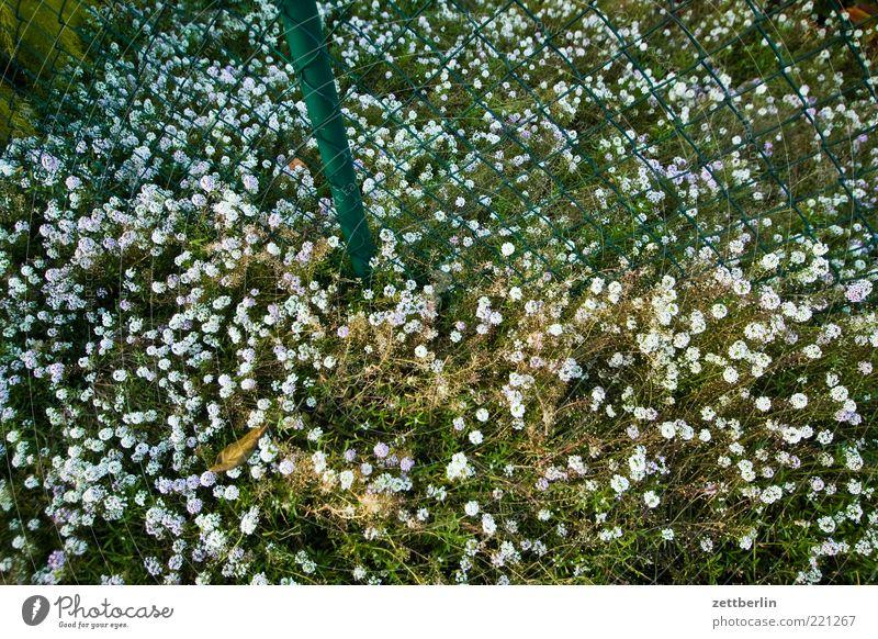 Blumen vor und hinter dem Zaun Natur weiß grün Pflanze Sommer Blatt Wiese Umwelt Gras Garten Blüte Wachstum natürlich viele Blühend