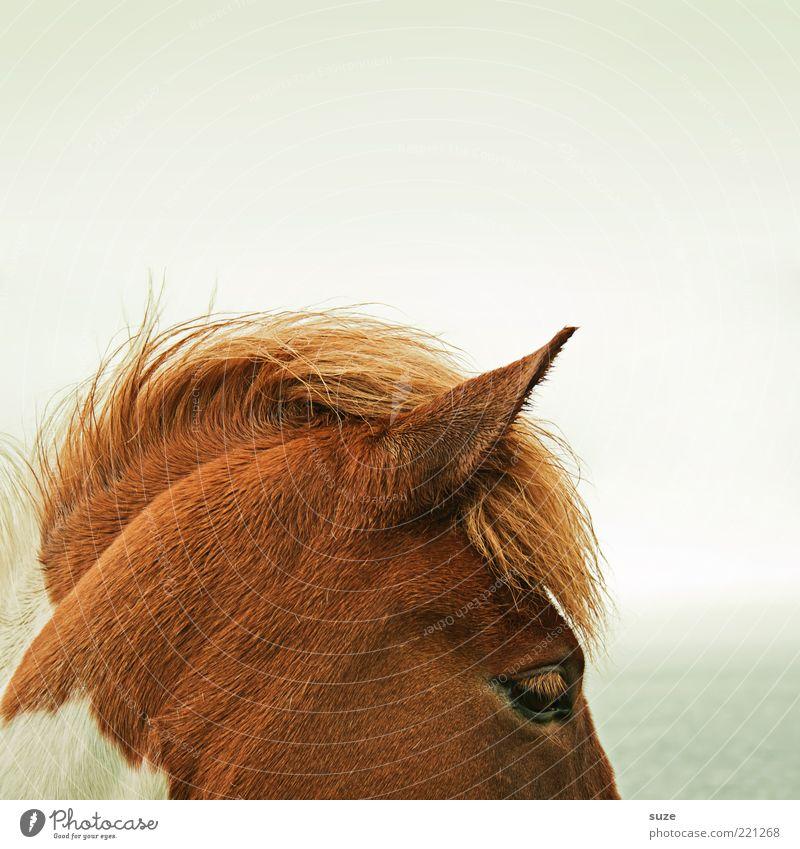 Abschnitt schön Natur Tier Himmel Wind Nutztier Wildtier Pferd stehen warten ästhetisch natürlich wild Stimmung Mähne Island Ponys Kopf Schecke Ohr Farbfoto