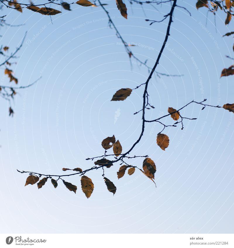 Blattverlust II Natur Himmel blau Blatt Herbst Traurigkeit Wandel & Veränderung Vergänglichkeit Ast Jahreszeiten Blauer Himmel verblüht Herbstlaub Oktober filigran Zweige u. Äste