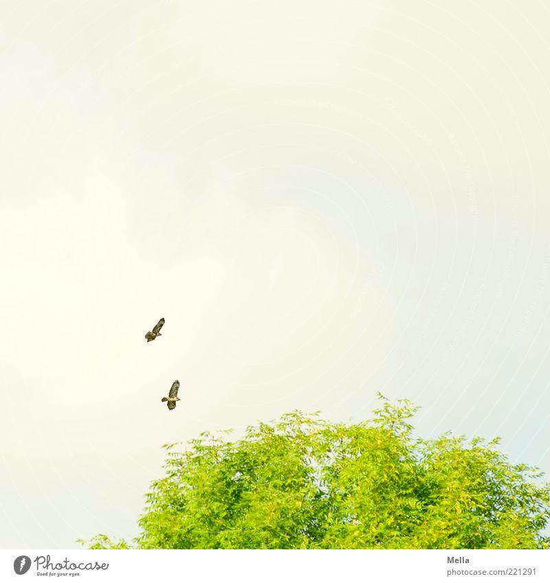 Zu zweit Umwelt Natur Pflanze Tier Luft Himmel Baum Baumkrone Wildtier Vogel Bussard Mäusebussard Greifvogel 2 Tierpaar fliegen frei Zusammensein natürlich grün