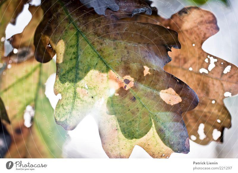 Lichtblick Umwelt Natur Sonnenlicht Herbst Wetter Schönes Wetter Pflanze Baum Blatt alt Erholung hängen hell nah Wärme Stimmung Zufriedenheit blenden Farbfoto