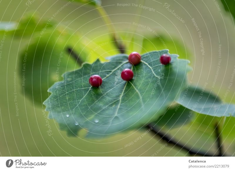Pickel Natur Pflanze Sommer Baum Blatt Wald Schädlinge Gallmilbe Gallwespe dehydrieren Wachstum braun grün rot Krankheit parasitär Design Farbe Rote Pickel