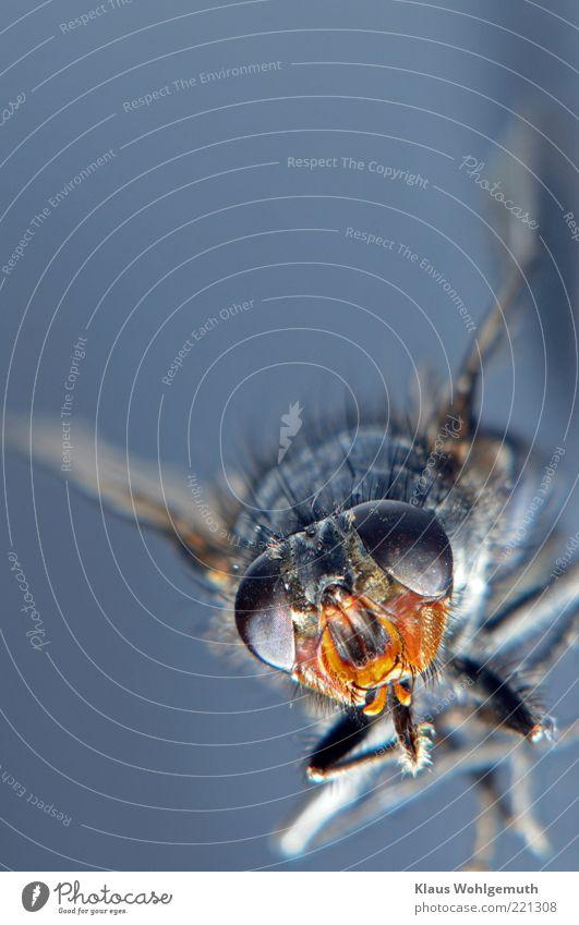 Sumsi Umwelt Natur Tier Sommer Fliege Totes Tier 1 liegen blau gelb schwarz Farbfoto Studioaufnahme Nahaufnahme Makroaufnahme Experiment Hintergrund neutral