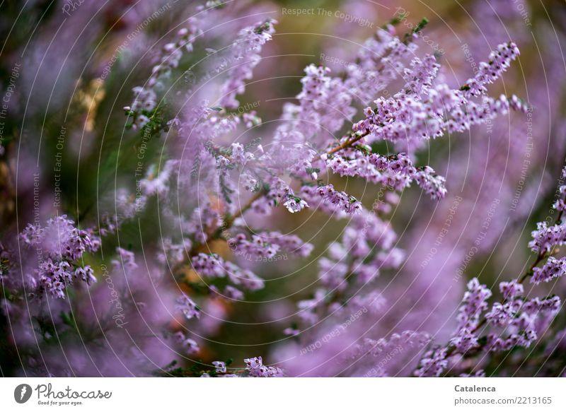 Erika, Erika Natur Pflanze Sommer Sträucher Blüte Heidekrautgewächse Bergheide Moor Sumpf bezahlen Wachstum ästhetisch schön braun grün rosa Umwelt Farbfoto
