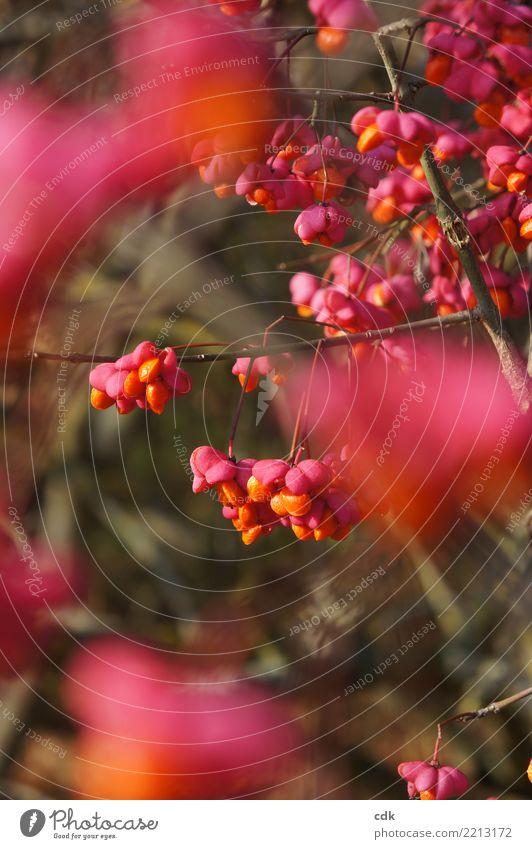 herbstliches Farbenspiel Umwelt Natur Pflanze Sträucher authentisch klein natürlich schön orange rosa Beeren Farbfoto Außenaufnahme Detailaufnahme Tag Licht
