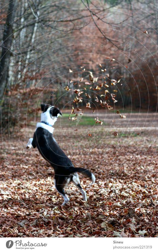 Laubtanz Herbst Blatt Wald Hund 1 Tier fangen Spielen springen lustig verrückt Freude Glück Fröhlichkeit Zufriedenheit Lebensfreude Tierliebe Bewegung Energie
