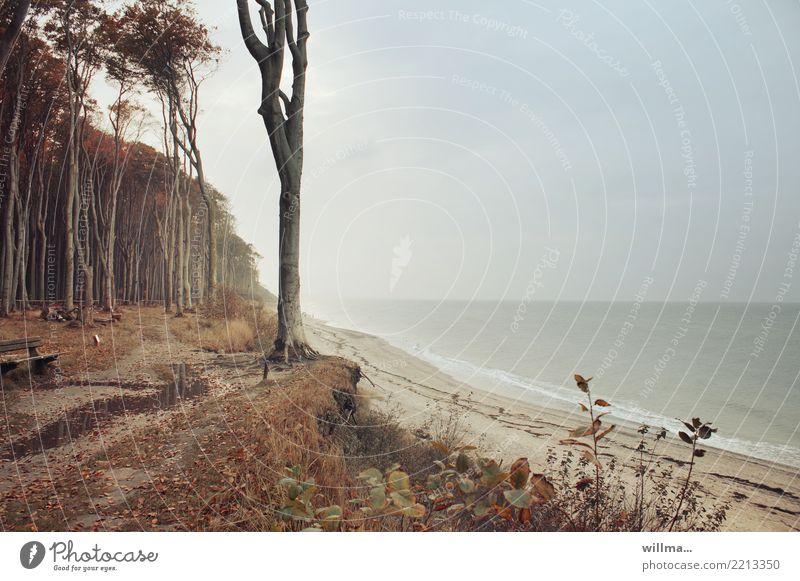 Wald an der Küste Landschaft Herbst Buche Buchenwald Ostsee Meer Naturschutzgebiet Nienhagen Gespensterwald Küstenstreifen Sandstrand natürlich Farbfoto