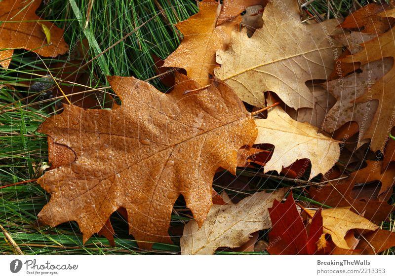 Gefallene braune Herbsteiche verlässt mit Tautropfen Natur Pflanze Wassertropfen Wetter Schönes Wetter Regen Gras Blatt Eichenblatt Eichenwald Park Wald liegen