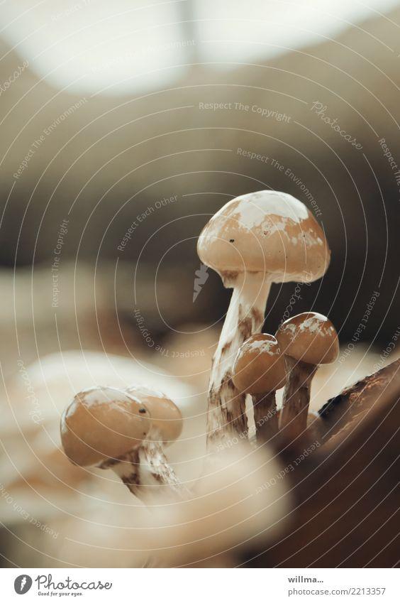 Baumpilze im Regen Pilz Beringter Buchenschleimrübling glänzend nass Herbst Natur natürlich braun herbstlich Farbfoto Außenaufnahme