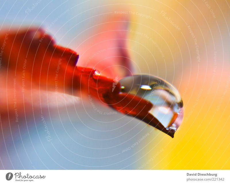 Silver pearl Natur Wasser Pflanze rot Blatt Herbst glänzend nass Wassertropfen rund Tropfen feucht Tau hydrophob Oberflächenspannung