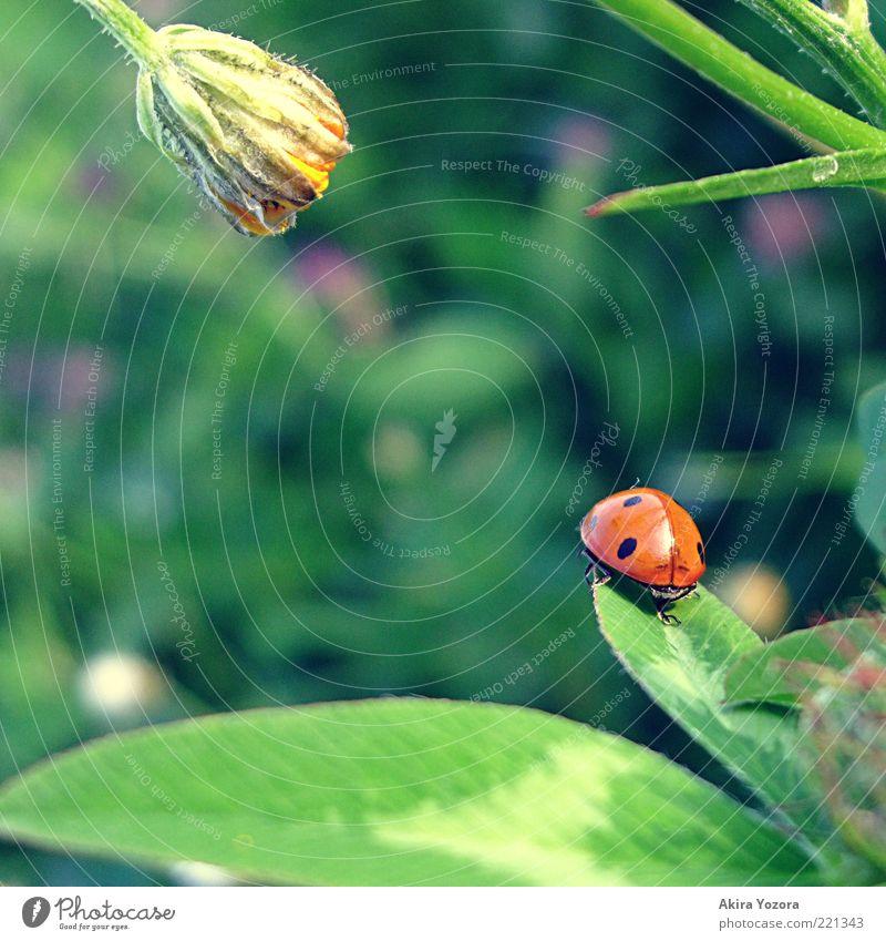 Von der Sehnsucht und vom Warten Natur Frühling Sommer Pflanze Gras Blüte Grünpflanze Wiese Tier Käfer Marienkäfer 1 Blühend sitzen Wachstum warten ästhetisch