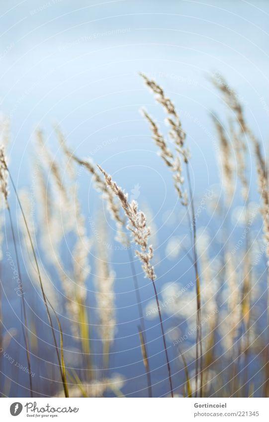 Windstill Natur blau Pflanze Herbst Gras Umwelt weich Schilfrohr Licht