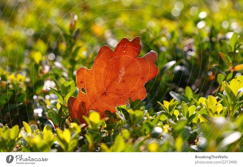 Abschluss oben des braunen Herbsteichenblattes auf grünem Buchsbaum Natur Pflanze Sonnenlicht Wetter Schönes Wetter Baum Blatt Eichenblatt Garten Park Wald